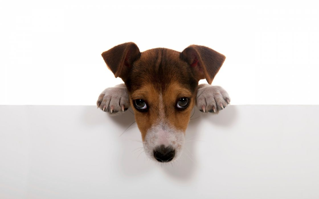 puppy paws muzzle eyes wallpaper