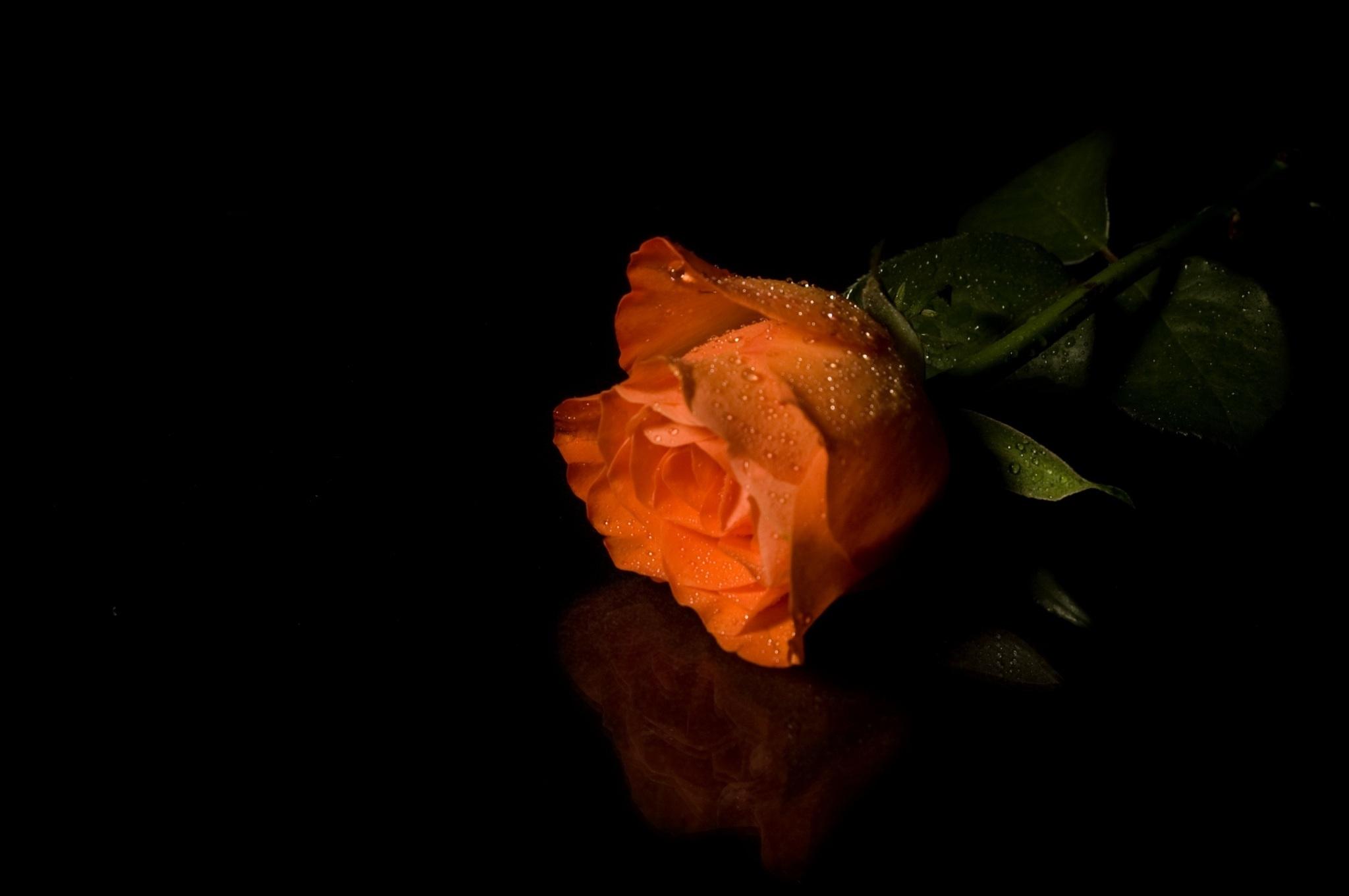 белые розы на черном фоне обои на рабочий стол № 133729 бесплатно