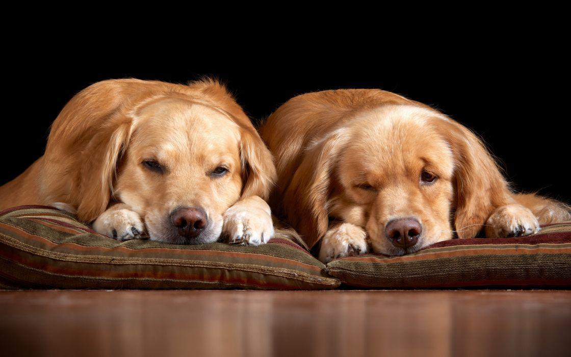 dogs home comfort cute mood wallpaper