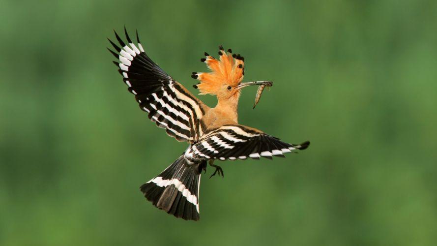 birds madagascar poland flight hoopoe wallpaper
