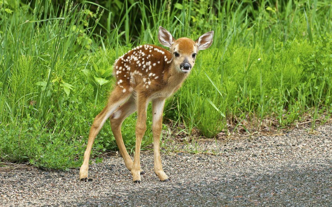 deer  nature  summer baby cute wallpaper