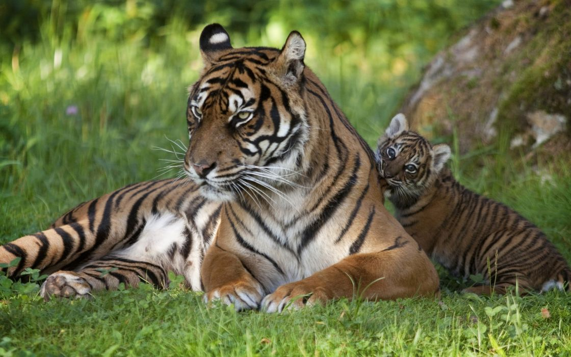 Tigers  tiger  baby  family  grass  cats wallpaper