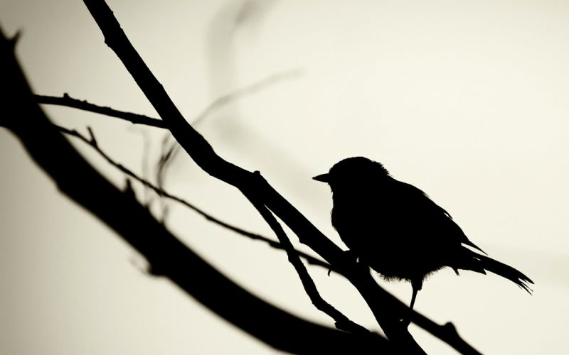 sparrow on the branch wallpaper