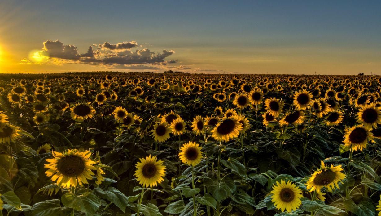 Sunset Field Sunflowers Sunflower Wallpaper