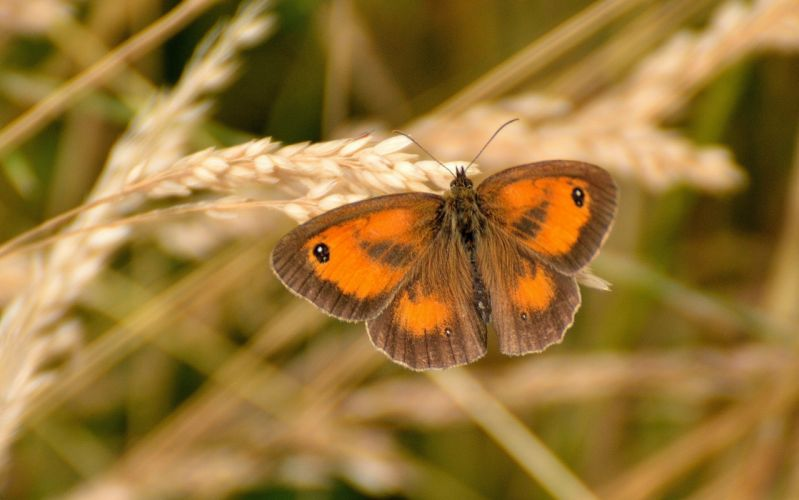 butterfly Piron wading close-up ear wallpaper