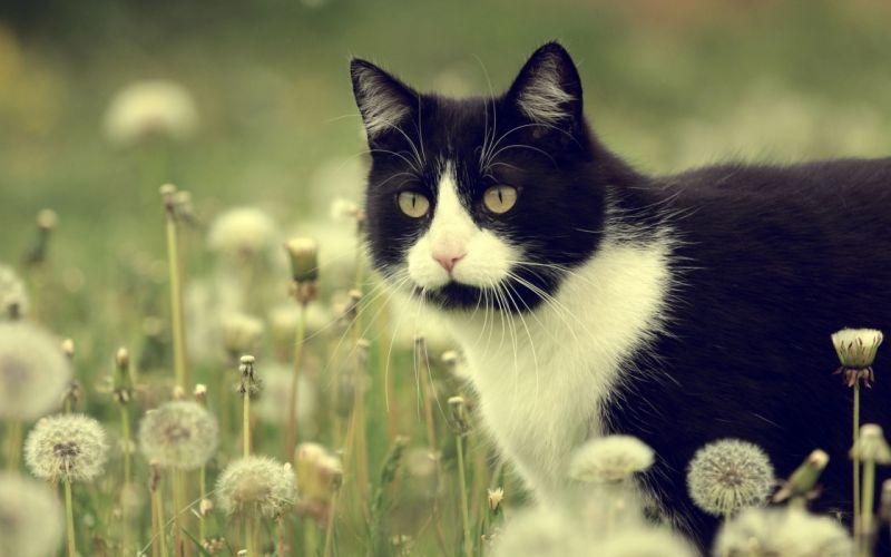 cat dandelions flowers meadow h wallpaper