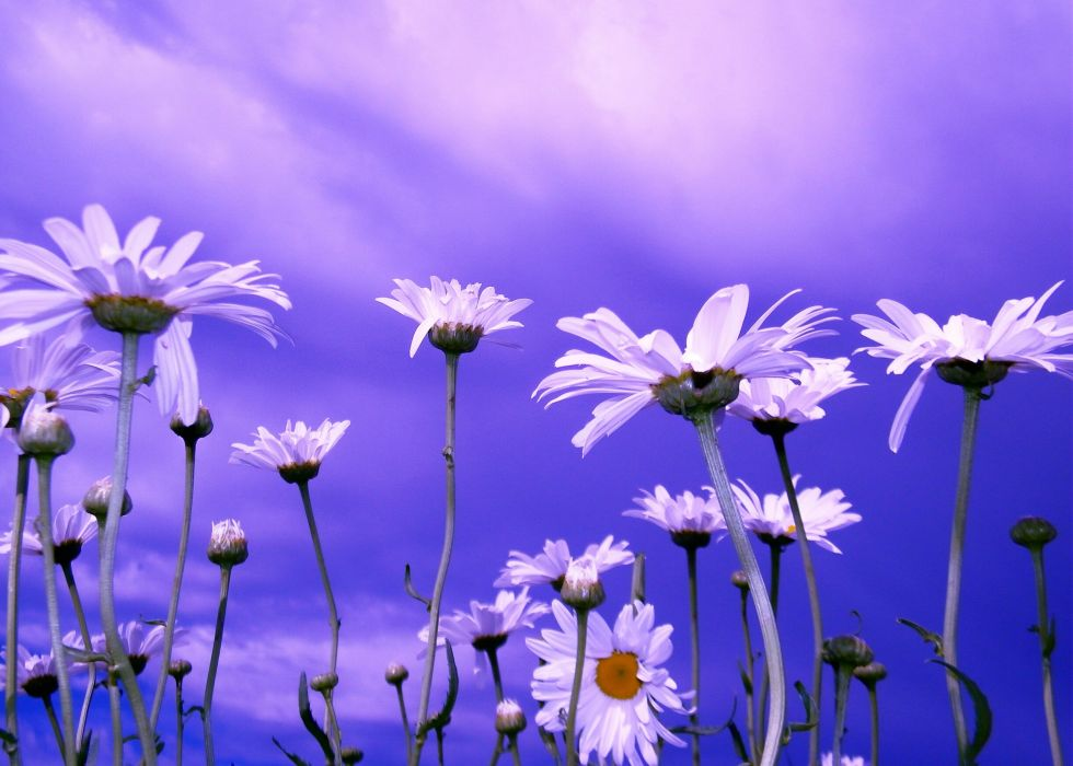 daisies sky close-up bokeh wallpaper