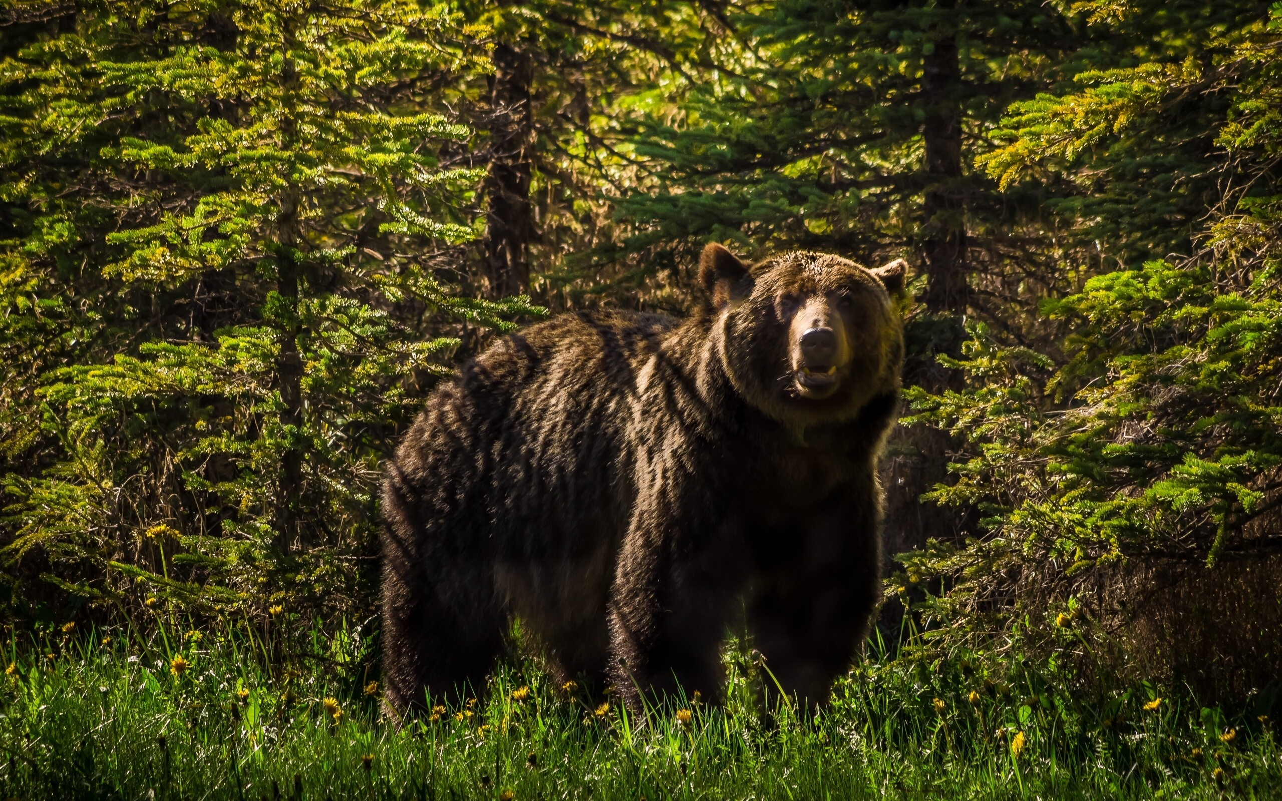Thomas Wall Mural Grizzly Bear Forest Wallpaper 2560x1600 125286