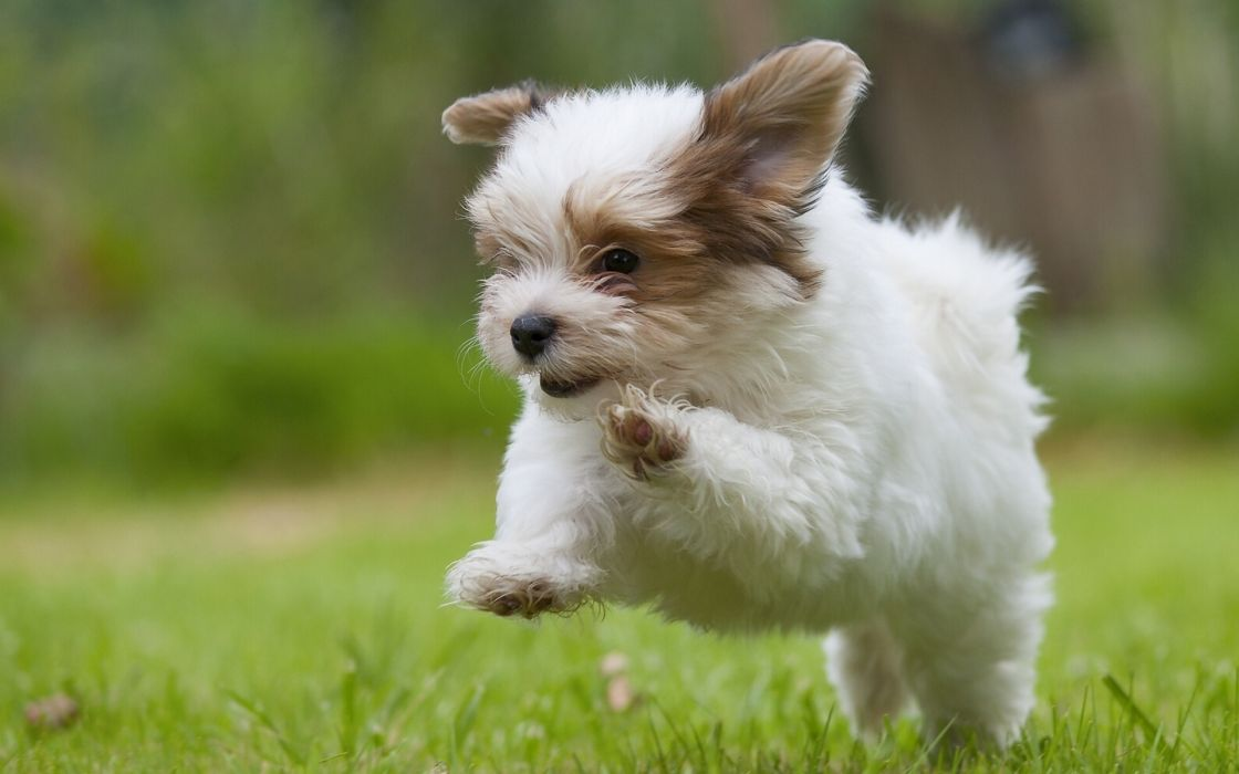 Havana Bichon puppy humor dog   g wallpaper