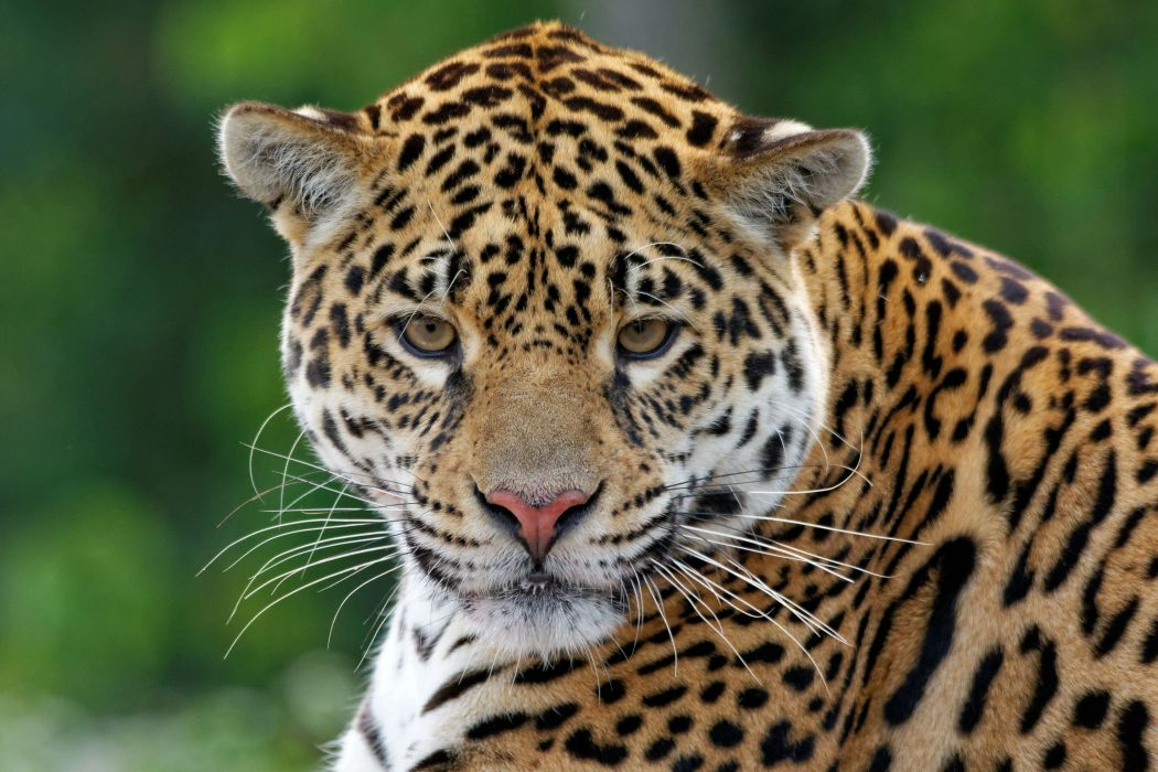 leopard muzzle eyes wallpaper