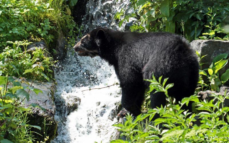 Spectacled bear brook waterfall wallpaper
