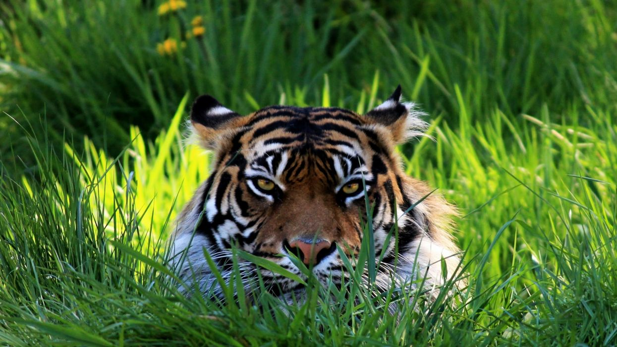 tiger face eyes grass    h wallpaper