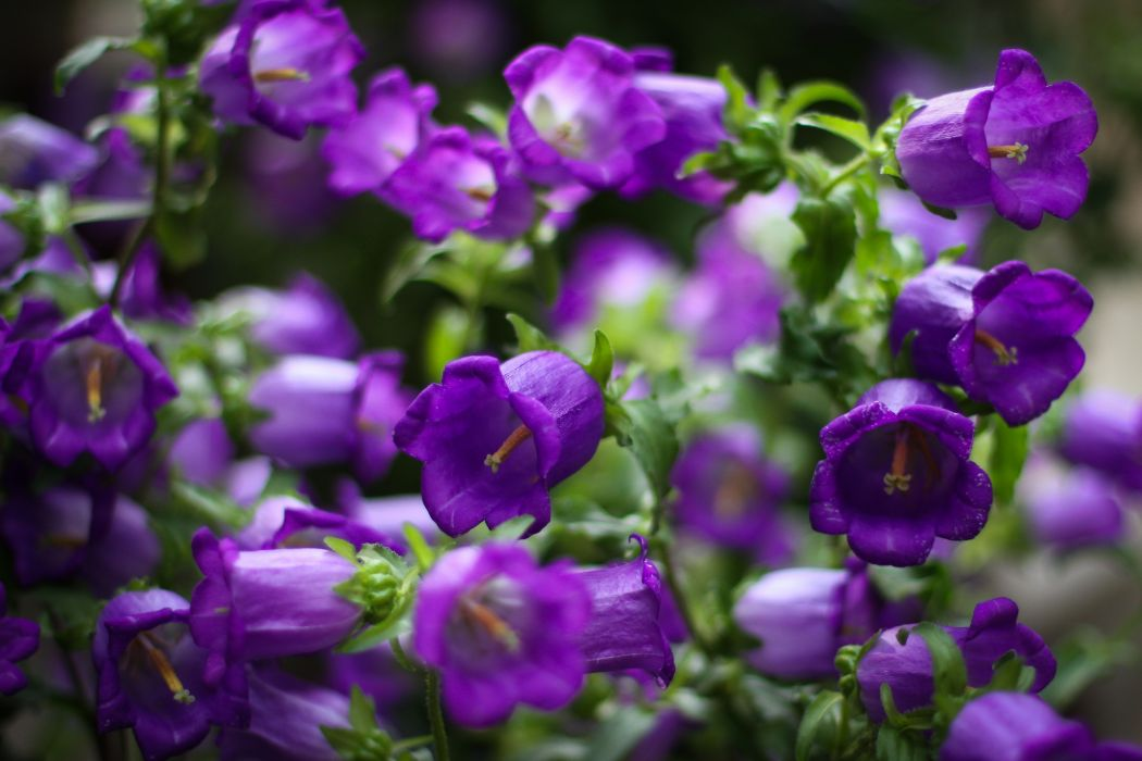 Bells flowers purple petals macro focus wallpaper