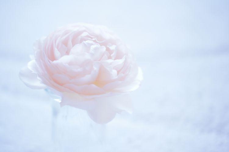 camellia flower macro pink bokeh wallpaper