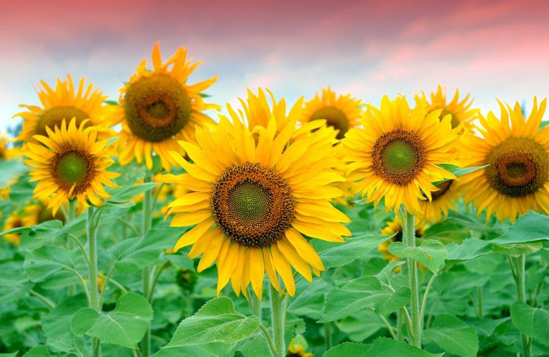 sunflowers  field  yellow  petals wallpaper
