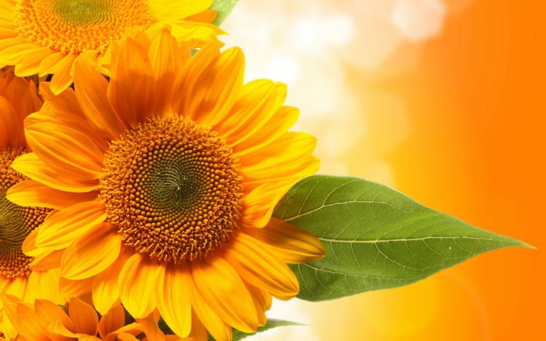 sunflowers leaves green wallpaper
