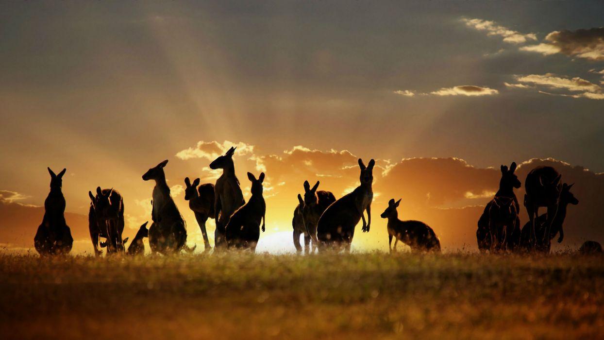 Kangaroo Sunset wallpaper