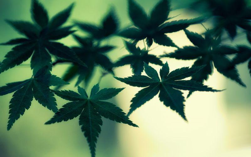 Marijuana Cannabis Leaves Green Macro weed wallpaper