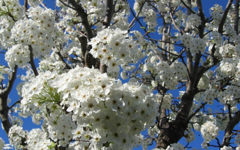 tree branches flowers blossom wallpaper