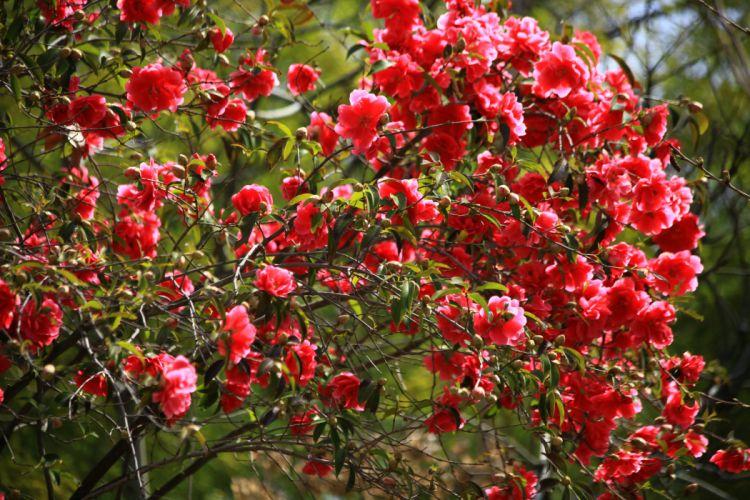 Camellia Shrubs Flowers bokeh wallpaper