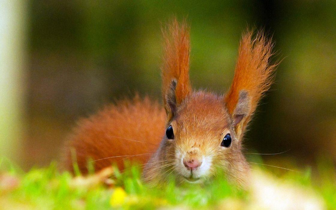 Rodents Squirrels Glance Animals wallpaper