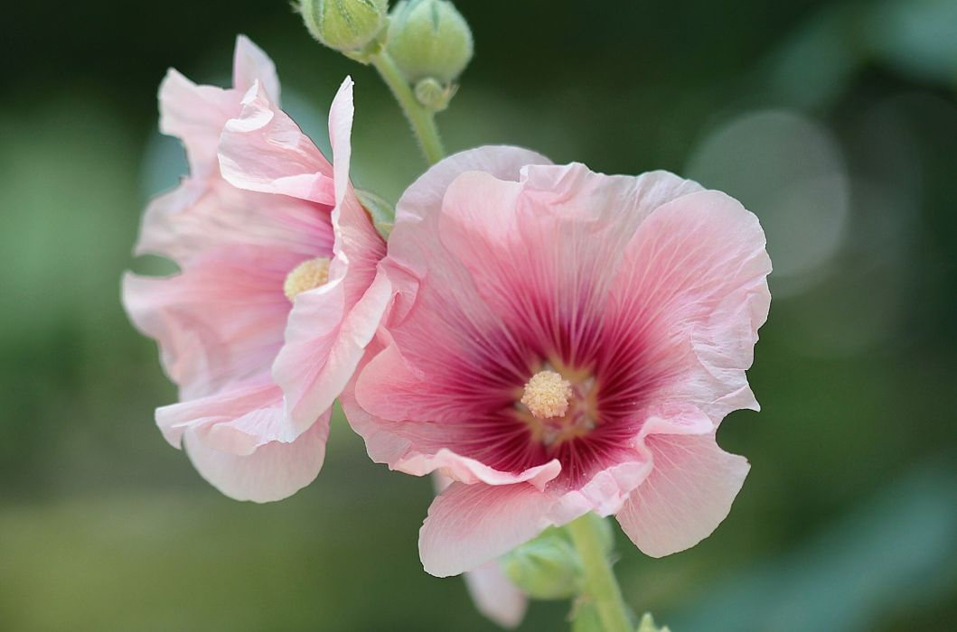 mallow stock-rose mallow close-up wallpaper