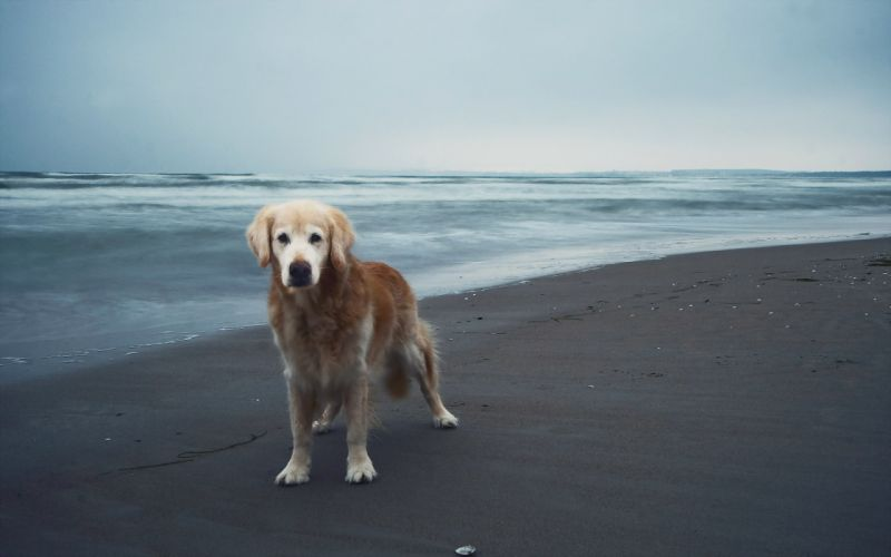 beach dog sea ocean mood wallpaper
