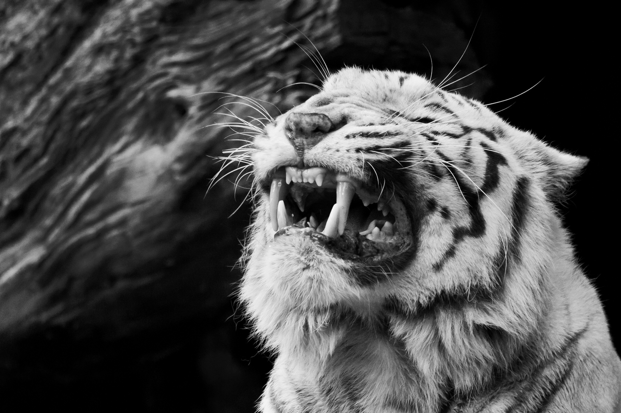 images of white tiger roar wallpaper - #spacehero
