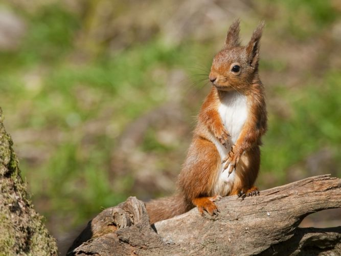 Rodents Squirrels Animals Squirrel wallpaper
