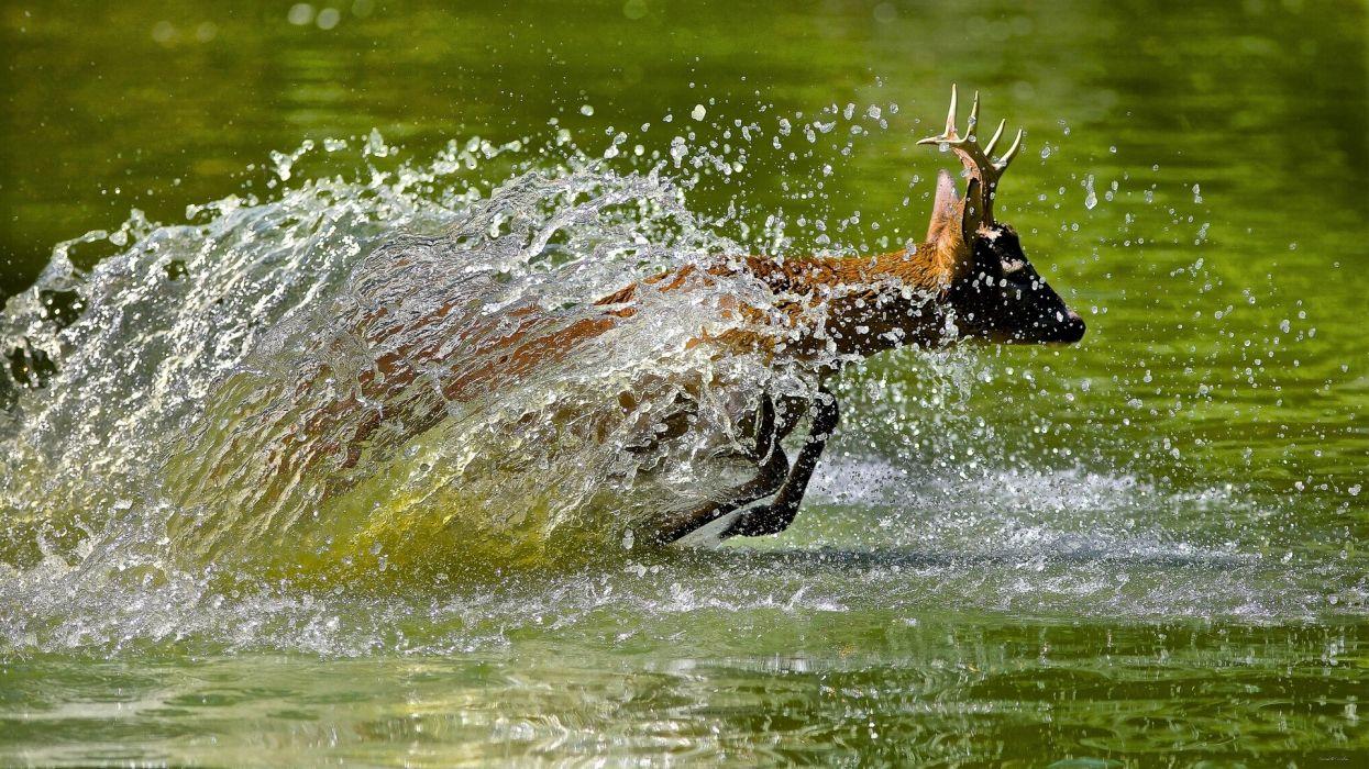 deer water splash drops wallpaper