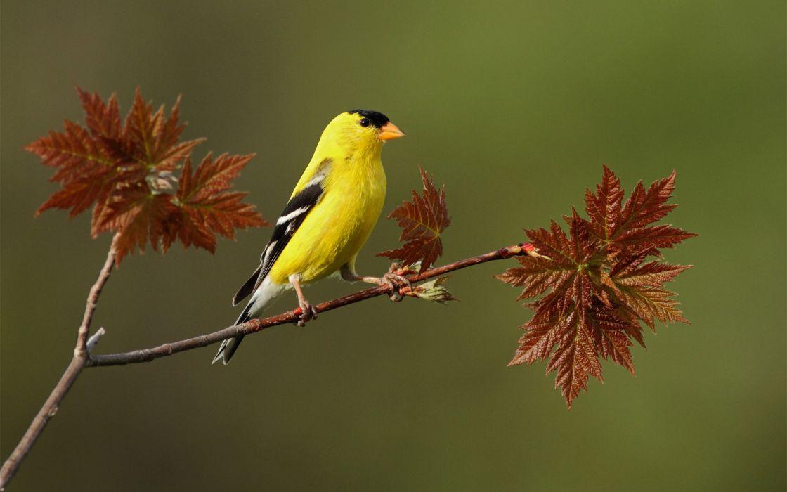 bird  yellow  branch  leaf wallpaper