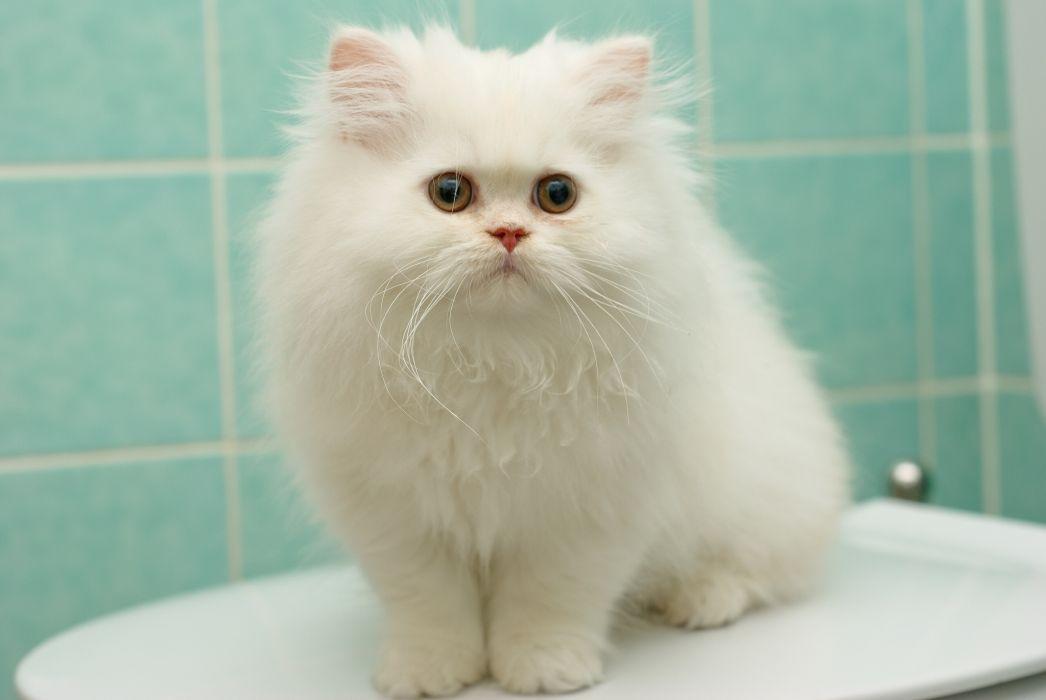 kitten white fluffy Persian cat cats kittens wallpaper