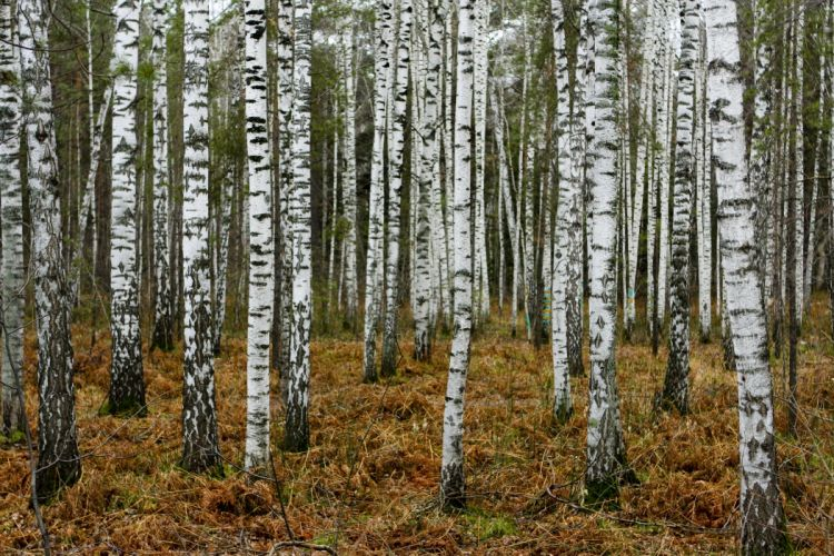 Forest Russia Trees Birch Nature wallpaper