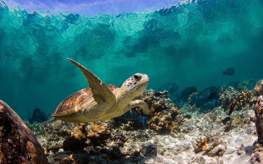 Turtle Tortoise Underwater Ocean Topical Fish wallpaper