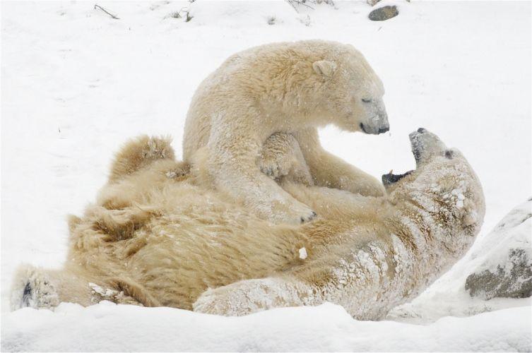 polar bears snow winter games bear wallpaper