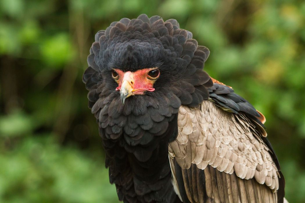 bird Caracara feathers wallpaper