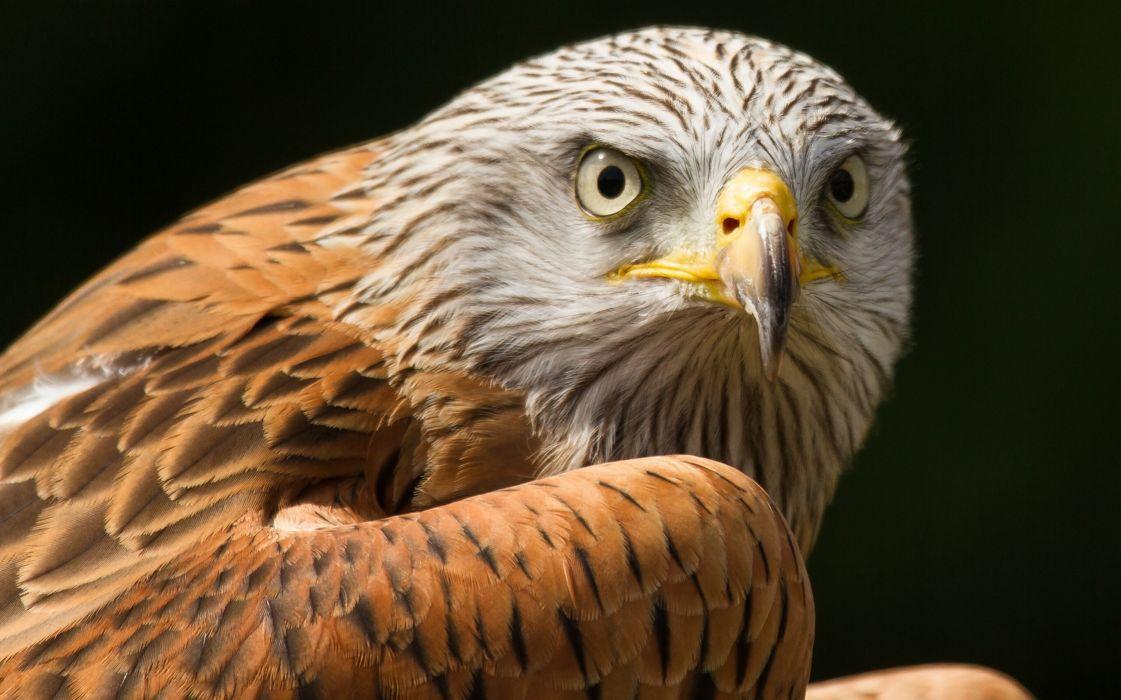 bird predator eyes feathers hawk wallpaper