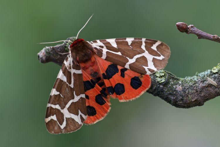 butterfly Bear-kaya branch close-up bokeh wallpaper