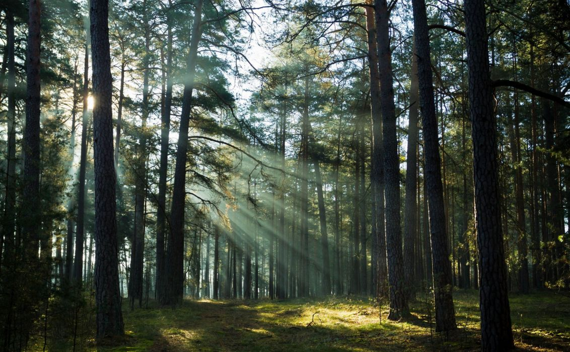 forest trees rays wallpaper