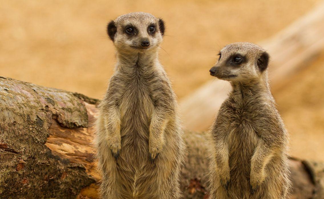 meerkats meerkat wallpaper