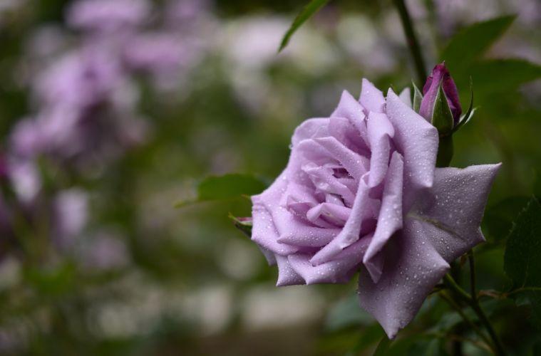 Roses Violet Flowers drops bokeh wallpaper