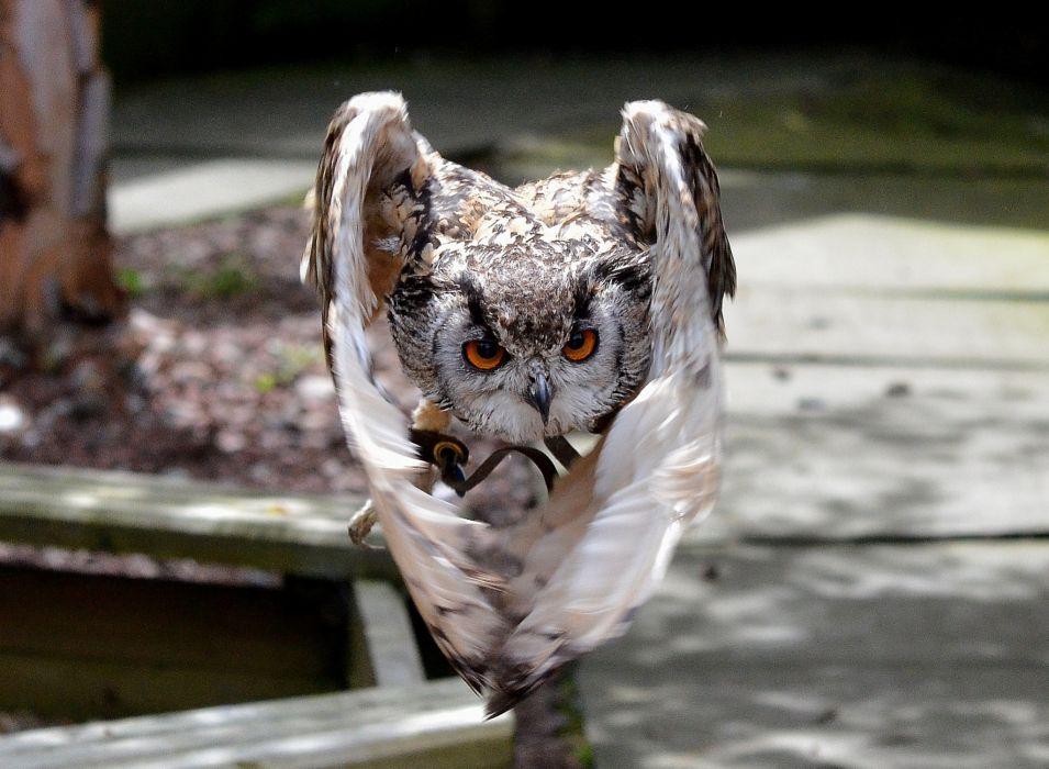 Birds Owls Flight Wings Animals owl wallpaper