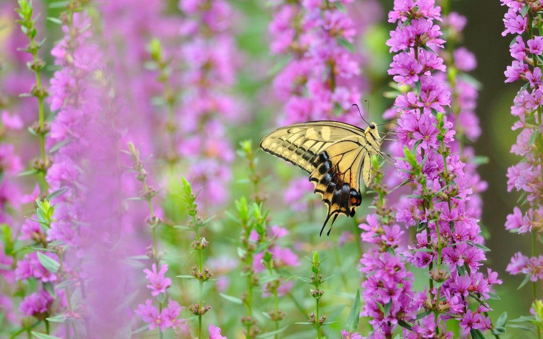 butterfly Swallowtail flowers macro wallpaper