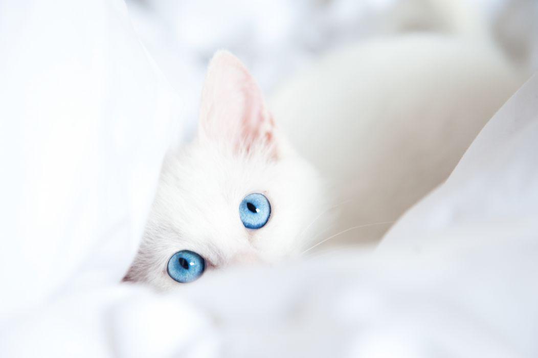 Cats Eyes Glance White Animals kitten kittens baby wallpaper