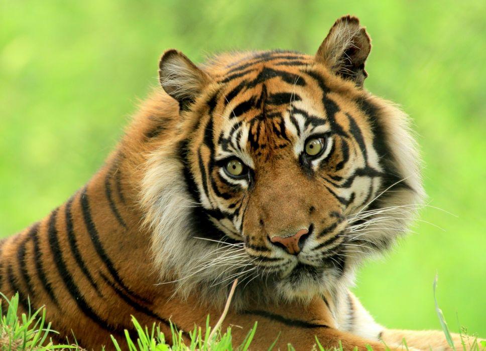 cats Tigers Glance Animals tiger wallpaper