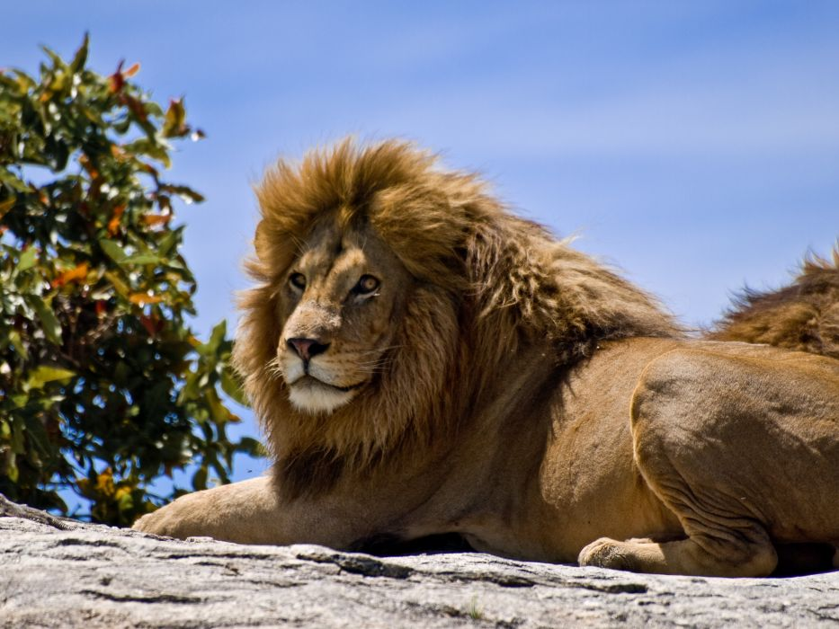 cats Lions Animals lion wallpaper