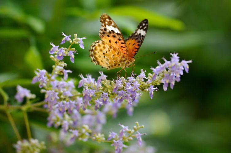butterfly Argyros flowers macro wallpaper