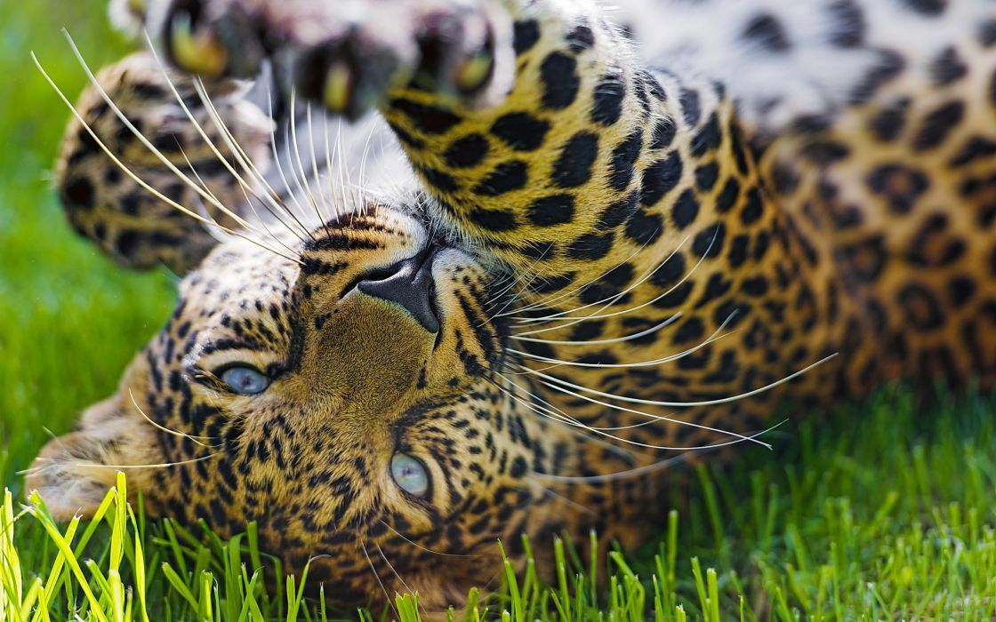 grass game leopard wallpaper