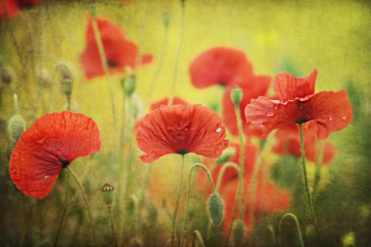 poppies seeds buds red wallpaper