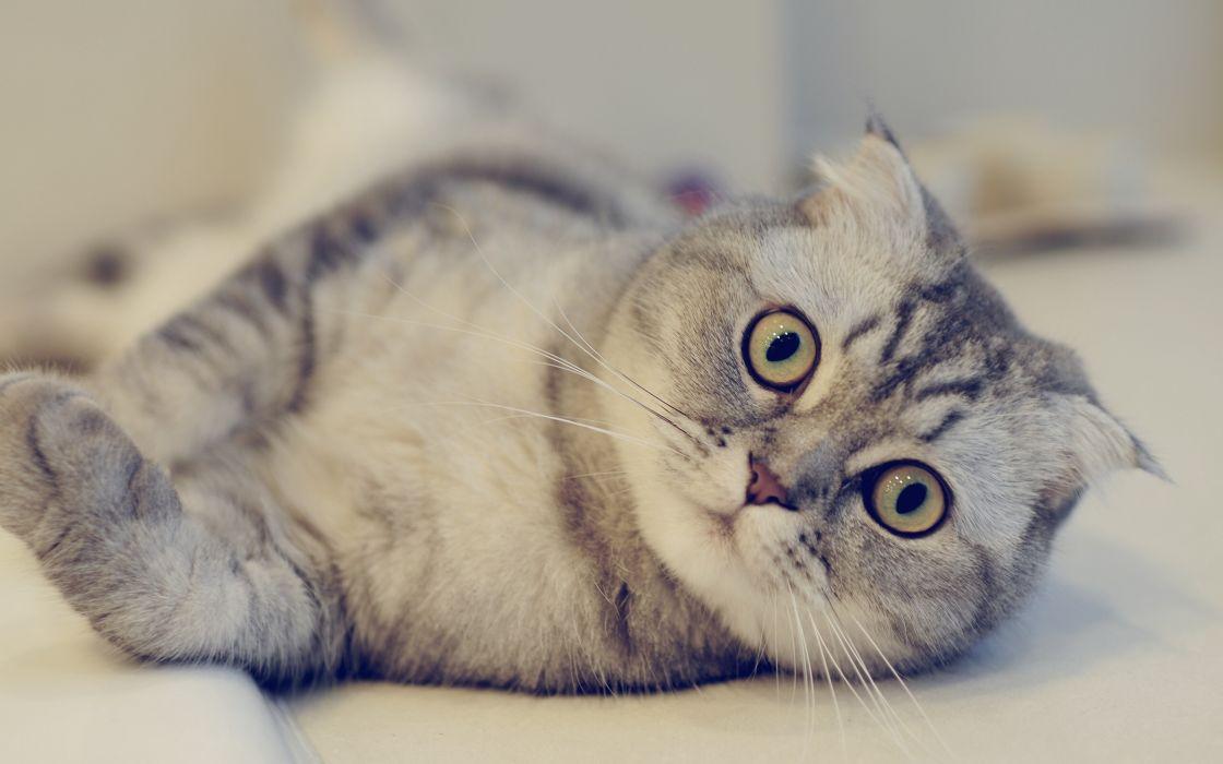 Scottish Fold cat look wallpaper